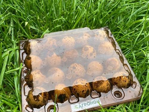 Яйца перепелиные С фермы 20 шт