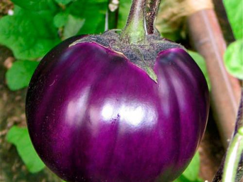 Баклажан сорт Виолетта