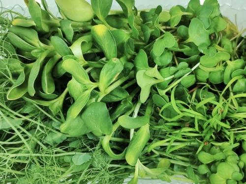 Микрогрин микс 4 вида зелени 50 грамм